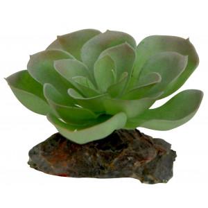 Sukulenty Lucky Reptile Echeveria, cca 8 cm