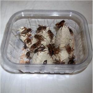 Cvrčci - krabička (pouze pro osobní odběr na prodejně)